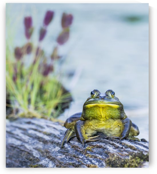 Bull frog (rana catesbeiana) resting on a log beside a lake; Ontario, Canada by PacificStock