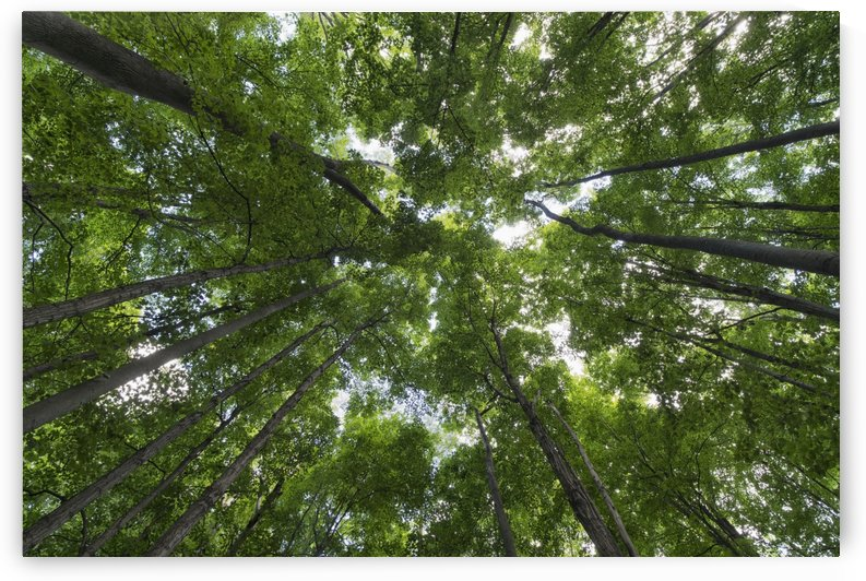 Looking up into the canopy of deciduous trees in an Ontario forest; Strathroy, Ontario, Canada by PacificStock