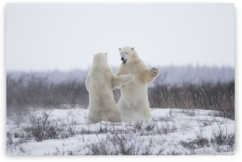 Polar bears (ursus maritimus) sparring in the snow during winter near Churchill; Manitoba, Canada by PacificStock