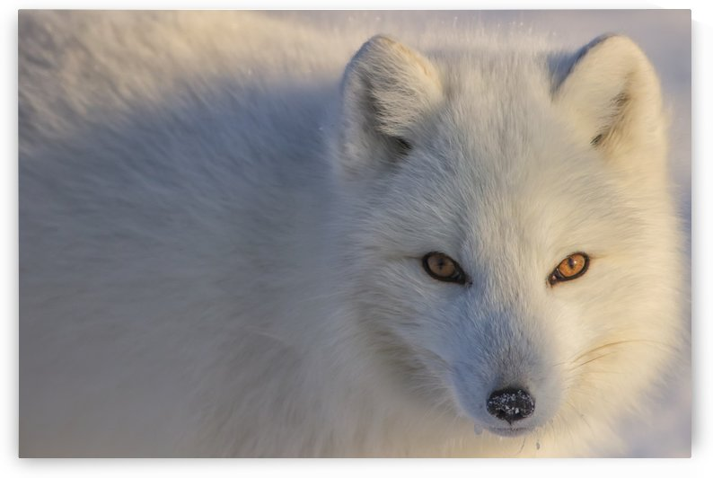 Arctic fox (Vulpes lagopus) staring at photographer; Churchill, Manitoba, Canada by PacificStock