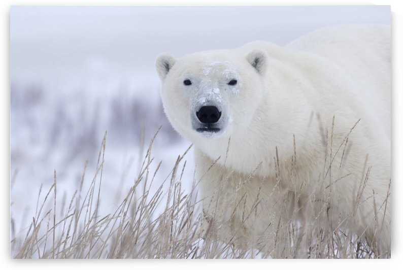Polar bear (ursus maritimus) walking through the snow and blizzard near Churchill; Manitoba, Canada by PacificStock