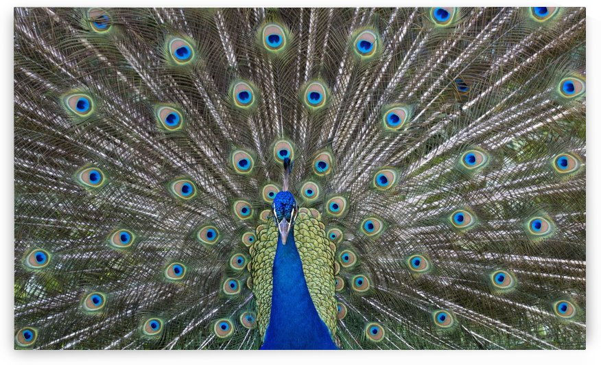 Peacock in full display mode attempting to attract a mate; Santa Cruz, Bolivia by PacificStock