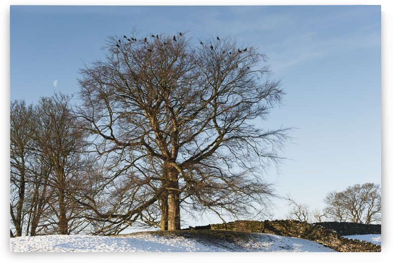 Rooks (Corvus frugilegus) roosting in trees on a cold winters day; United Kingdom by PacificStock