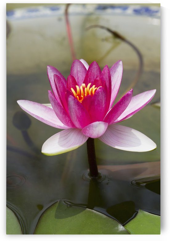 Water lily in the Humble Administrator's Garden, Suzhou, Jiangsu, China by PacificStock