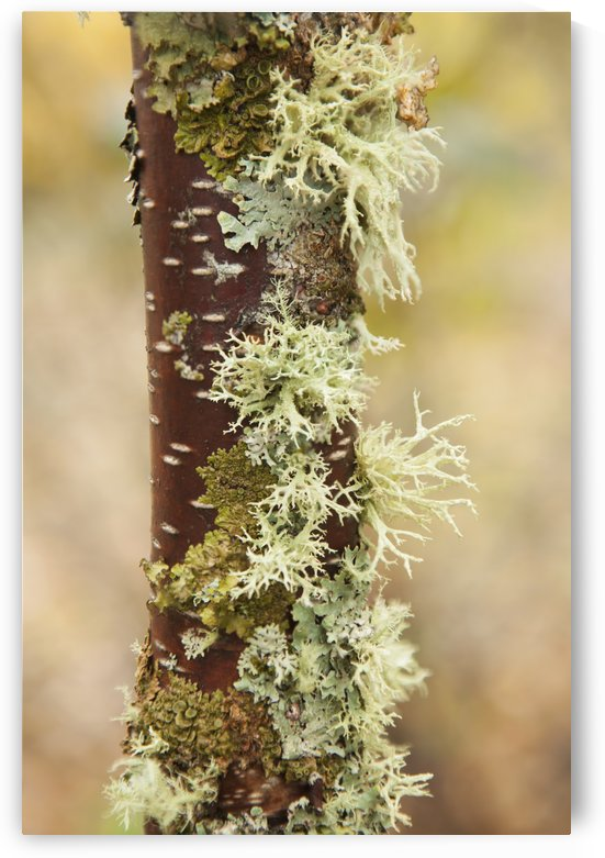 Moss growing on a birch tree trunk; Thunder Bay, Ontario, Canada by PacificStock