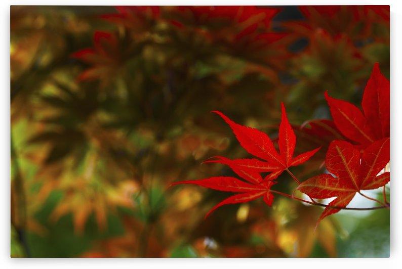 Japanese maple leaves; Edmonton, Alberta, Canada by PacificStock