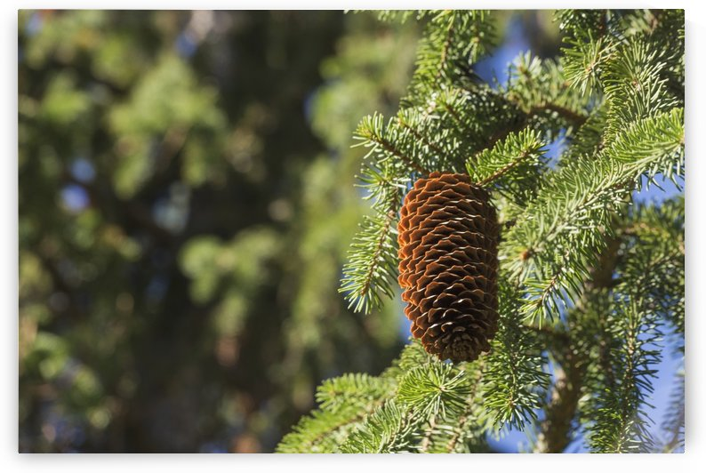 Open cone on spruce tree; Edmonton, Alberta, Canada by PacificStock