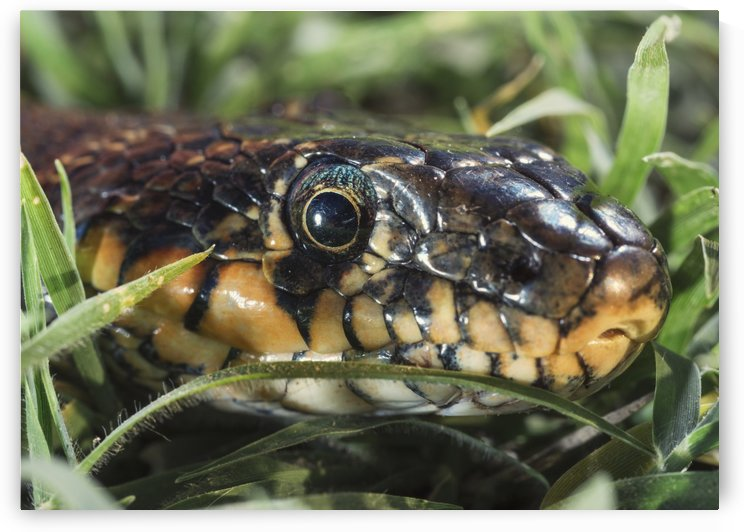 Horseshoe Whip Snake (Hemorrhois hippocrepis); Tarifa, Cadiz, Andalusia, Spain by PacificStock