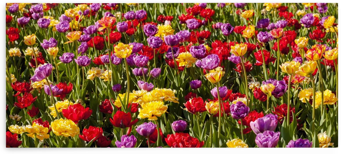 Tulips at the Canadian Tulip festival; Ottawa, Ontario, Canada by PacificStock