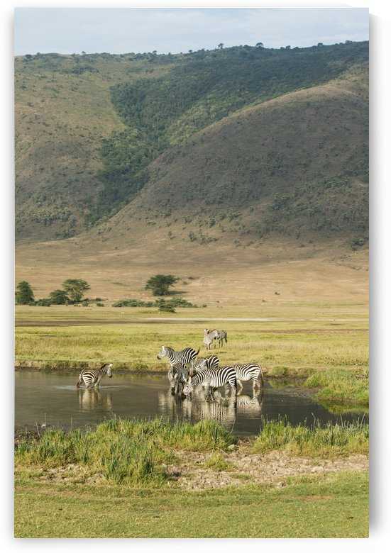 Common Zebras (Equus quagga) drinking in waterhole in Ngorongoro Crater; Tanzania by PacificStock