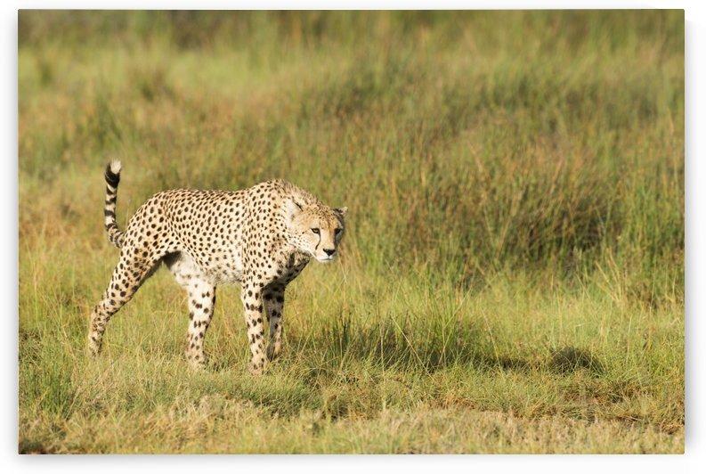 Alert Cheetah (Acinonyx jubatus) stalking through open grassland near Ndutu, Ngorongoro Crater Conservation Area; Tanzania by PacificStock
