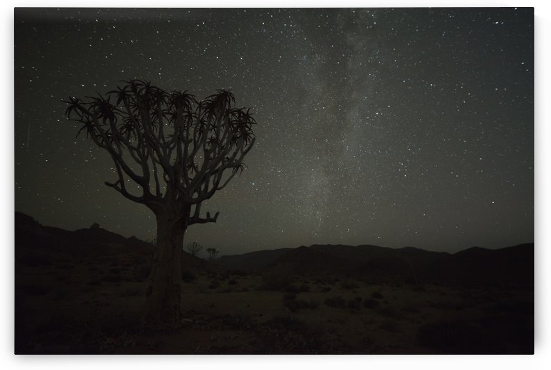 Kookerboom tree with Milky Way, Richtersveld National Park; South Africa by PacificStock