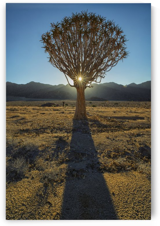 Sunburst through a Kookerboom tree in Richtersveld National Park; South Africa by PacificStock