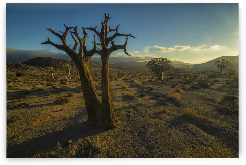 Richtersveld National Park with dead Kookerboom tree; South Africa by PacificStock