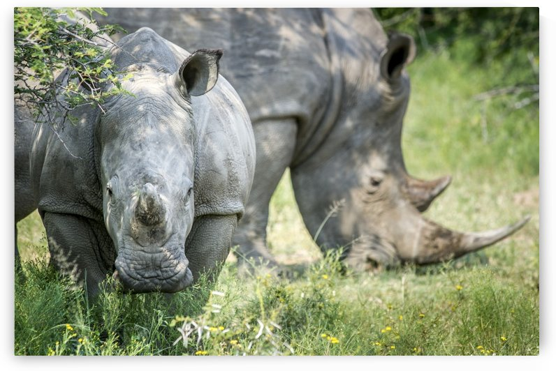 A pair of rhinoceros (Rhinocerotidae) on the Dinokeng Game Reserve; South Africa by PacificStock