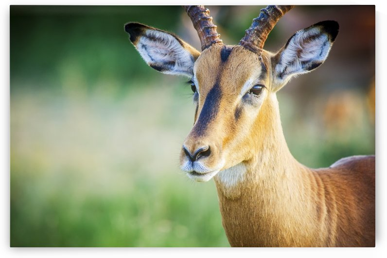 Impala (Aepyceros melampus), Kruger National Park; South Africa by PacificStock