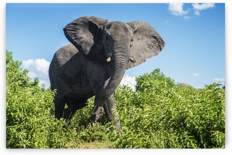 African Elephant (Loxodonta), Chobe National Park; Kasane, Botswana by PacificStock