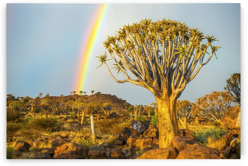 Quiver tree (Aloe dichotoma) forest in the Playground of the Giants with a rainbow; Keetmanshoop, Namibia by PacificStock
