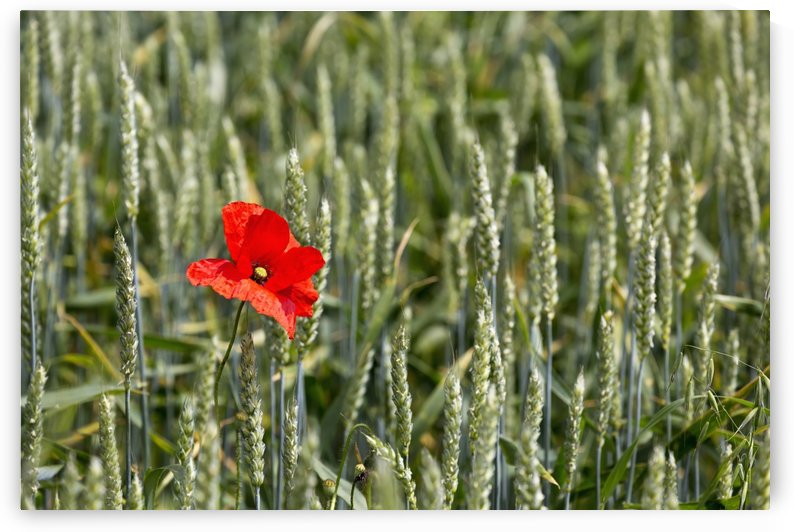 Close up of red poppy in a green wheat field; Brehec, Brittany, France by PacificStock