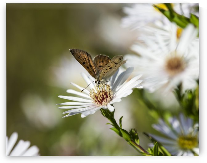 Copper Butterfly (Lycaenidae) seeks nectar from aster blossoms; Astoria, Oregon, United States of America by PacificStock