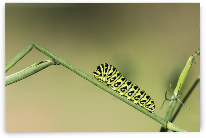 A caterpillar dines on a dill plant; Astoria, Oregon, United States of America by PacificStock