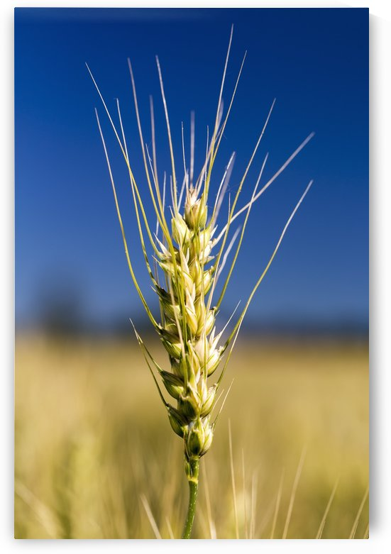Close up of a ripening wheat head in a field with blue sky; Acme, Alberta, Canada by PacificStock
