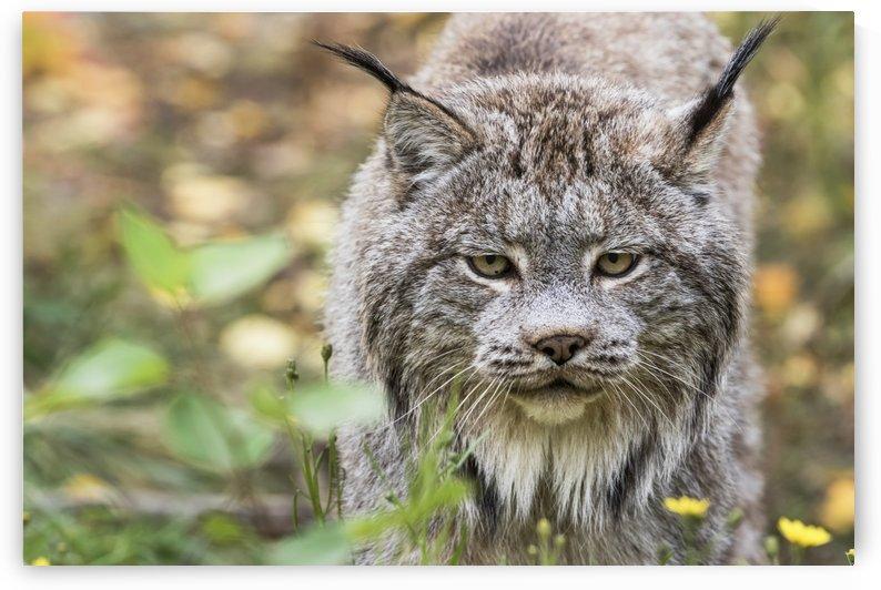 Canadian Lynx (Lynx canadensis) walking through the underbrush; Yukon, Canada by PacificStock