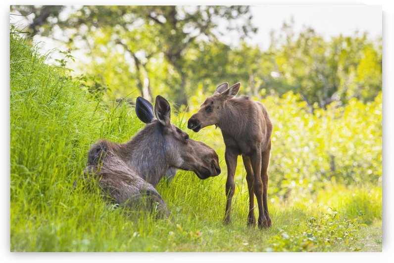 A moose cow and calf in Kincaid Park, Anchorage, Southcentral Alaska, summer by PacificStock