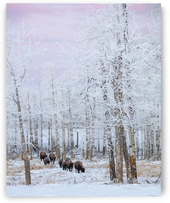 Bison walking in the early morning through the snow, Elk Island National Park; Alberta, Canada by PacificStock