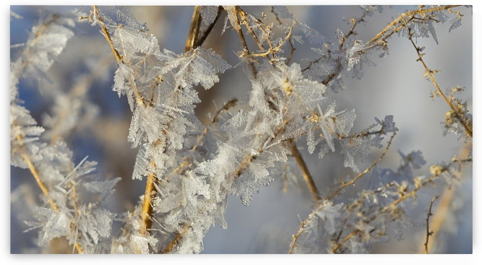 Hoar frost on branches; Alberta, Canada by PacificStock