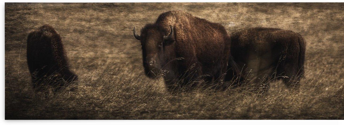 Bison (Bison bison athabascae) grazing, Elk Island National Park; Alberta, Canada by PacificStock