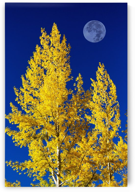 Bright, colourful aspen trees in autumn with large full moon and blue sky; Calgary, Alberta, Canada by PacificStock