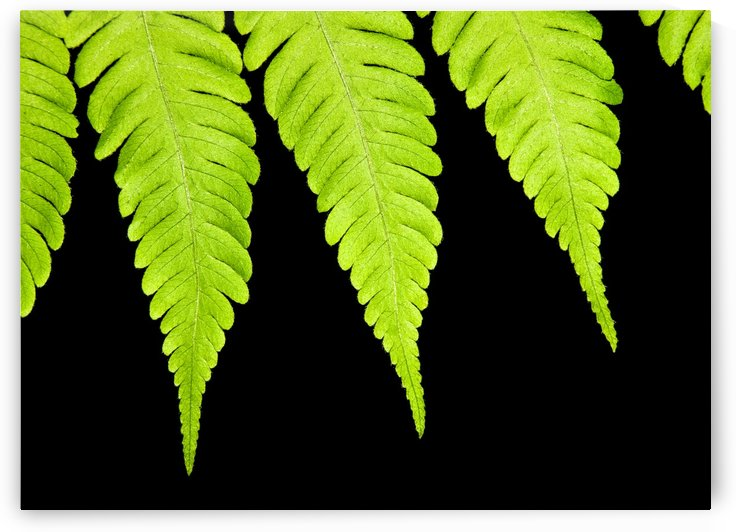 Fern isolated on black background by PacificStock