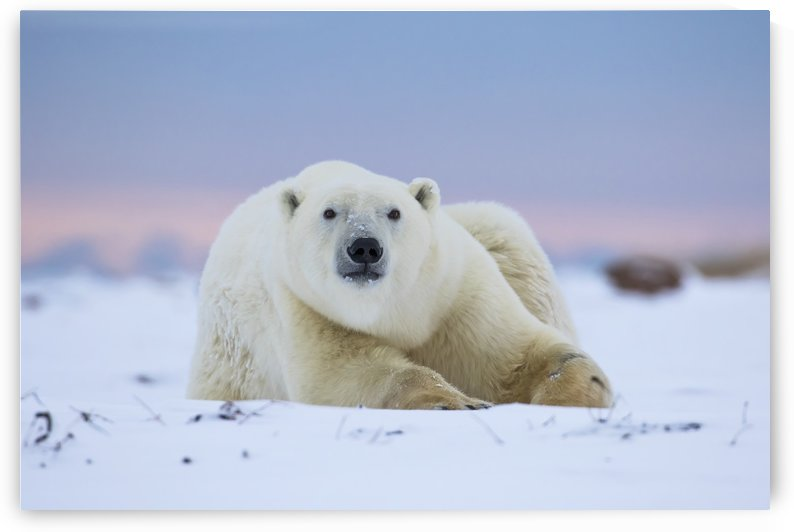 Polar bear (ursus maritimus) along the Hudson Bay coastline waiting for the bay to freeze over; Churchill, Manitoba, Canada by PacificStock