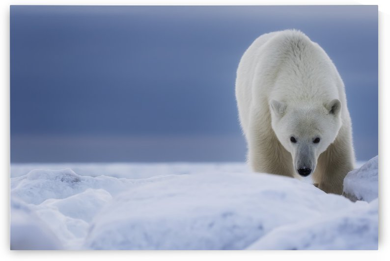 Polar bear (Ursus Maritimus); Churchill, Manitoba, Canada by PacificStock