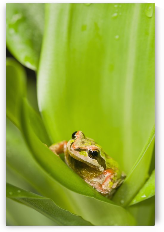 Pacific Chorus Frog (Pseudacris regilla) in leaf rosette; St. Albert, Alberta, Canada by PacificStock