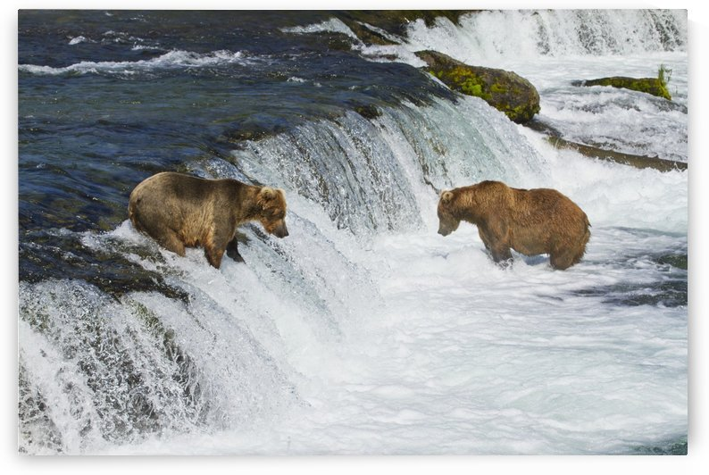 Brown bears (Ursus arctos) fishing for sockeye salmon at Brooks Falls, Brooks River, Katmai National Park and Preserve, Southwest Alaska by PacificStock
