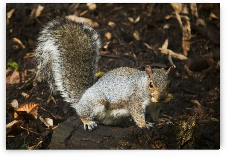 Squirrel eating a nut on a tree stump in autumn; Gateshead, Tyne and Wear, England by PacificStock