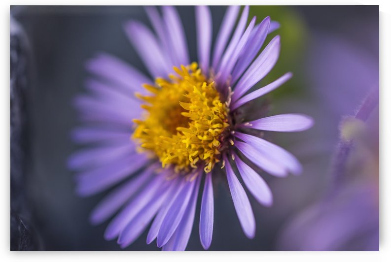 Siberian Aster along the Marsh Fork of the Canning River in the Arctic National Wildlife Refuge, Summer, Alaska   by PacificStock