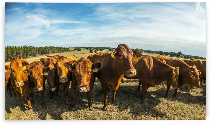Beefmaster herd of cows; Reddick, Florida, United States of America by PacificStock
