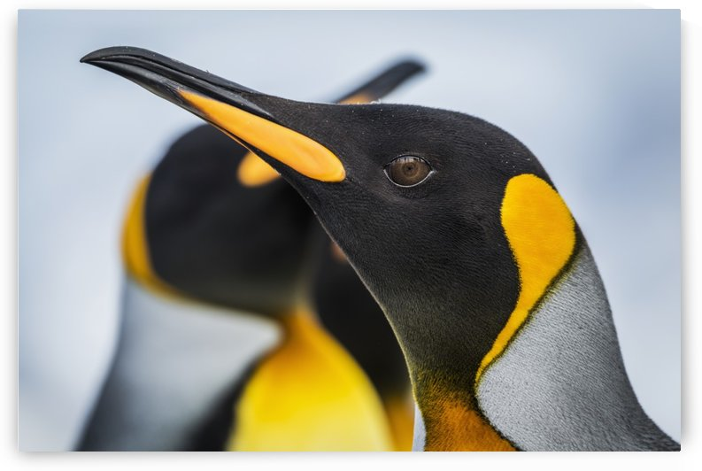 Close up of King Penguin (Aptenodytes patagonicus) with others behind; Antarctic by PacificStock