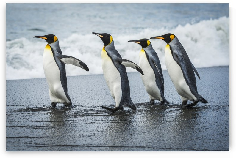 Four king penguins (Aptenodytes patagonicus) walking together on beach; Antarctica by PacificStock