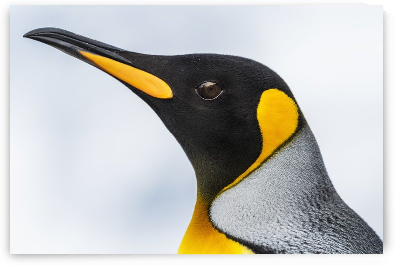 Close up of the head of a King Penguin (Aptenodytes patagonicus) with a black head and grey back with an orange beak and throat, blurred background; Antarctia by PacificStock