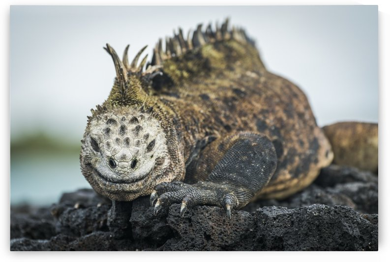 Marine iguana (Amblyrhynchus cristatus) on grey rocks beside sea; Galapagos Islands, Ecuador by PacificStock