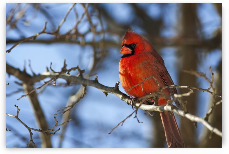 Vivid red Cardinal (Cardinalis cardinalis) sitting on a tree branch with a beautiful blue sky in the background; Kentucky, United States of America by PacificStock