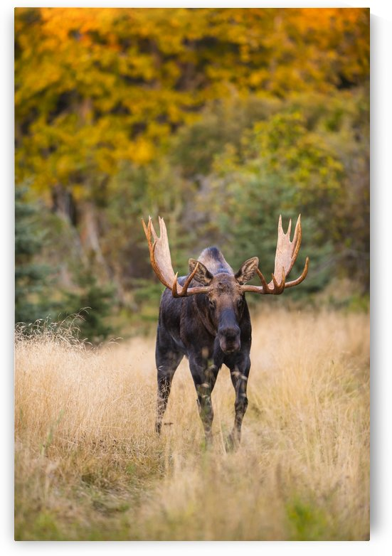 A bull moose in rut  in Kincaid Park, Anchorage, Southcentral Alaska, autumn by PacificStock