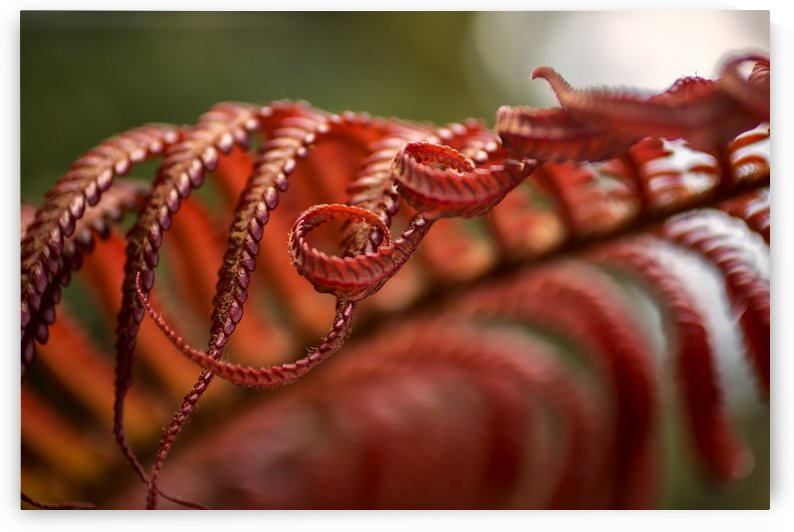 Close up of a crimson Amau fern; Hawaii, United States of America by PacificStock