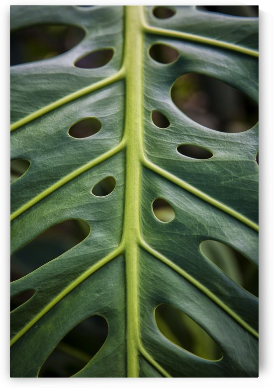 Close up of a green leaf with holes in it; Hawaii, United States of America by PacificStock