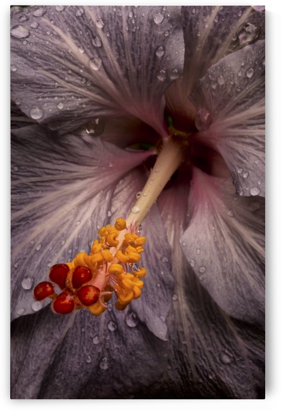 Close up of a Hibiscus flower with water droplets; Hawaii, United States of America by PacificStock