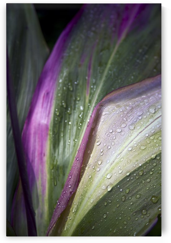 Close up of the purple and green leaves of a tropical plant covered in water droplets; Hawaii, United States of America by PacificStock